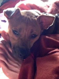 fawn dog on orange sheets