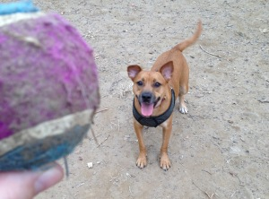 A small, panting brown dog with one pointed and one floppy ear watches a blue and purple tennis ball.