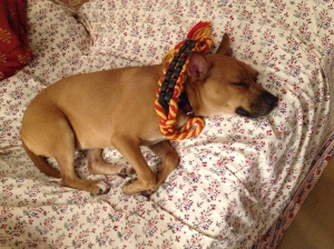 A small fawn-colored dog with perked, pointed ears lays on a couch with her eyes closed, a red-and-yellow braided rope resting along her purple collar.