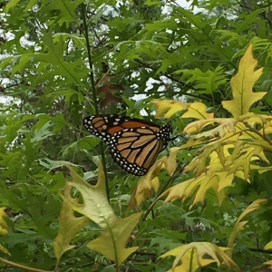 Monarch butterfly with wings together sits on a tree. Photo from right side.