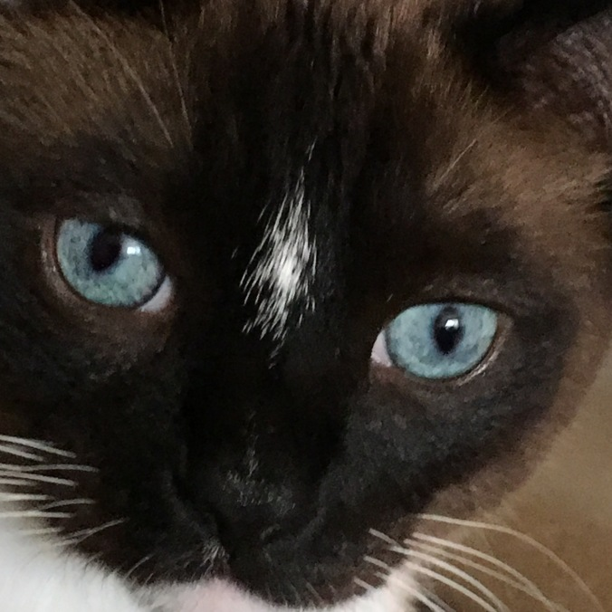 Monte (blue-eyed cat with sable-brown face) in closeup