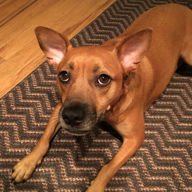 Fawn dog with black muzzle and large pointy ears looks above the camera