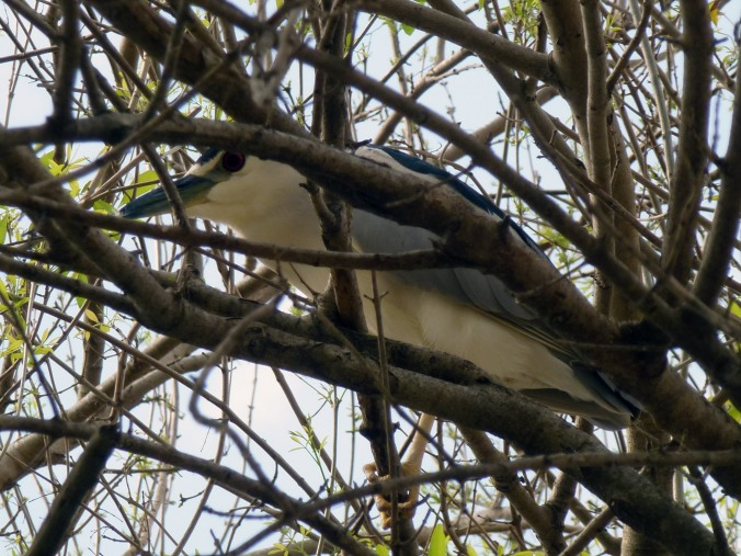 Night-heron peeking through branches