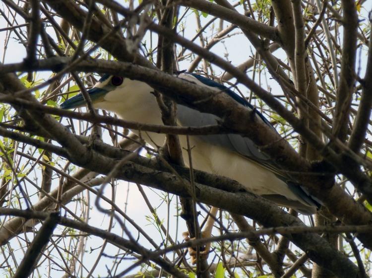 Night-heron peeking through branches