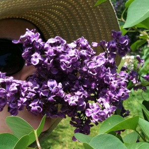 Dark purple lilacs obscuring the face of a white woman with woven beige sunhat and dark sunglasses.