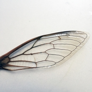 A single lacy dragonfly wing shown on a silver background.