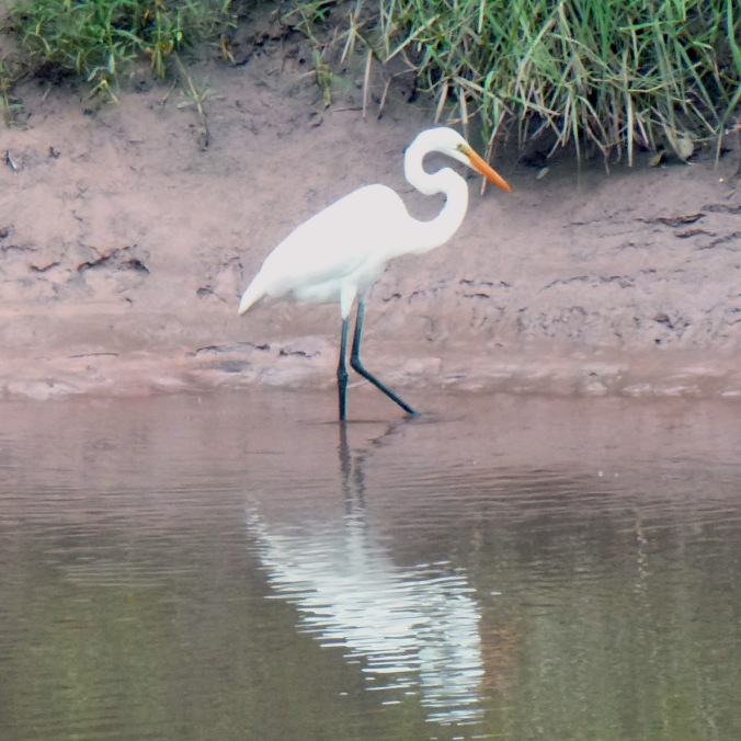 "A single white egret with a bright orange bill and neck curved into a S shape, walking ""ankle""-deep in bayou shallows"