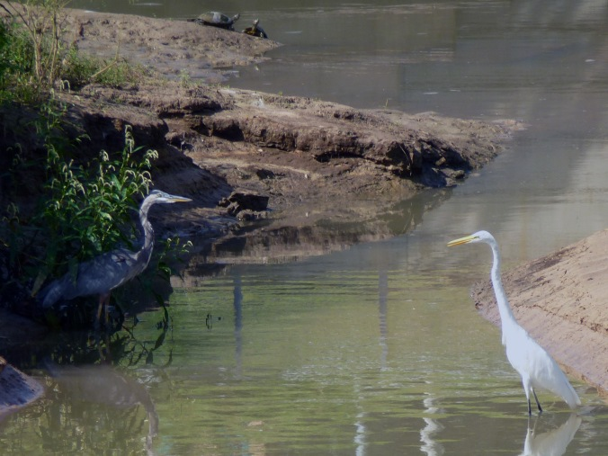 A great blue heron on the right side of the photo faces an egret on the left side of the photo. Both are wading, with the heron in shadow from bayou vegetation and the egret in sun, slightly closer to the photographer. At the top left, two turtles look on.